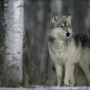 Wildlife officials to kill wolves in remote Idaho region